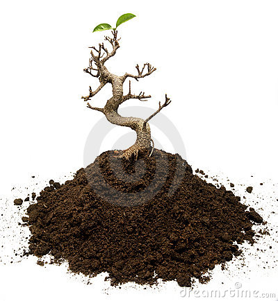 Free Surviving Bonsai Tree Stock Images - 15985964