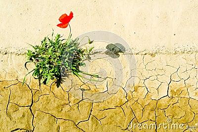 Surviving poppy