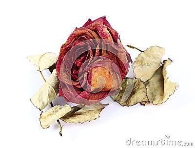Suszy różanego
