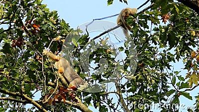 Svarioni neri nella cima degli alberi stock footage