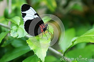 Svart fjärilswhite