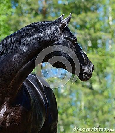 Svart fullblods- häst