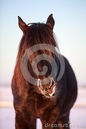 Svart häst