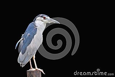 Svart-krönad Natt-Heron