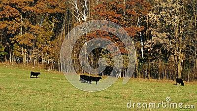 Svarta Angus Beef Cattle som in betar, betar på solig höstdag med att prassla för sidor lager videofilmer