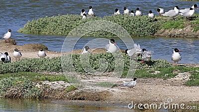 Svartskallade målarter som bekämpar matstrupar i Medelhavsområdet, häckningssäsongen, Noirmoutier, Frankrike arkivfilmer