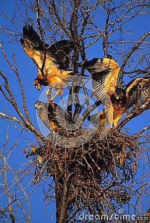 Free Swainson S Hawk Fledgelings In Nest Stock Photo - 10181990