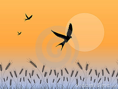 Swallow flying over wheat field