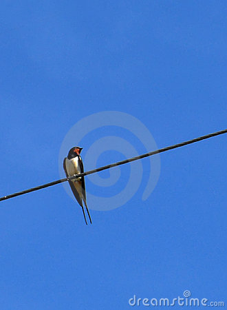 Free Swallow On Wire Royalty Free Stock Images - 6203319