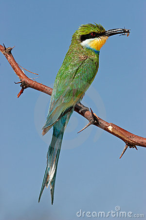 Free Swallow-tailed Bee-eater Stock Images - 22853524