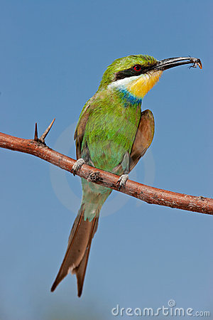 Free Swallow-tailed Bee-eater Royalty Free Stock Photos - 8374278