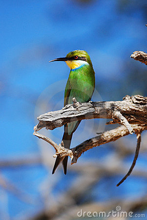 Free Swallow-Tailed Bee-Eater (Merops Hirundineus) Royalty Free Stock Photography - 14696557