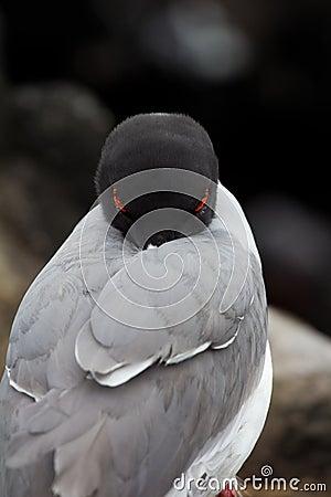 Free Swallow-tailed Gull Stock Photos - 22106713