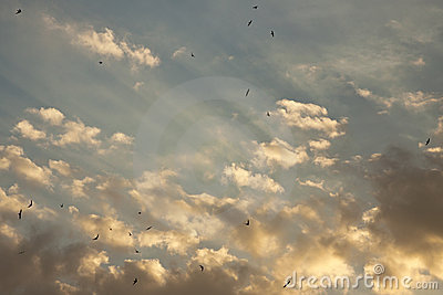 Swallows flying in the sky during sunset