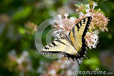 Swallowtail Butterfly on Abelia