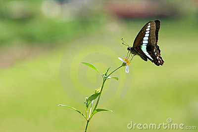 Swallowtail butterfly (butterfly series)