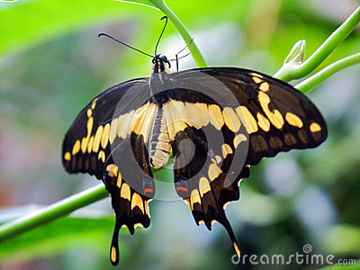 Swallowtail Butterfly on green background