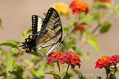 Swallowtail Butterfly on Orange Lantana