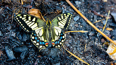 Swallowtail butterfly in spring
