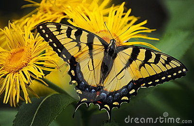 Swallowtail Butterfly On Yellow Asters