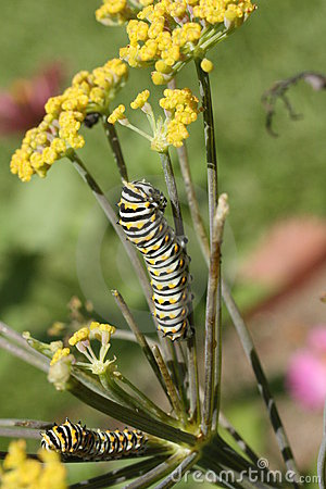 Swallowtail Caterpillar Royalty Free Stock Photos - Image: 15008898