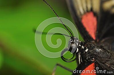 Swallowtail head
