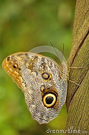 Swallowtail on liana