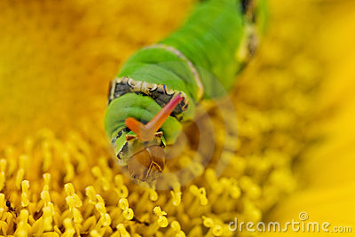 Swallowtail worm