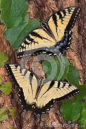 Free Swallowtails Stock Photos - 3288403