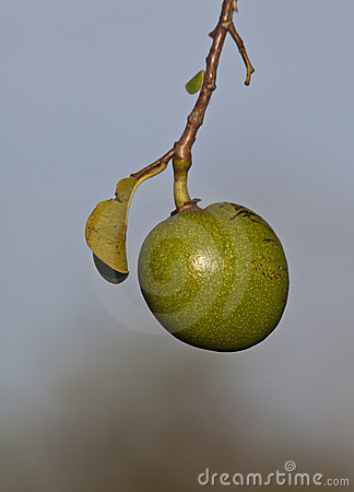 Swamp apple