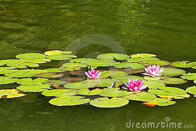 Swamp lily and green leaves, lotus