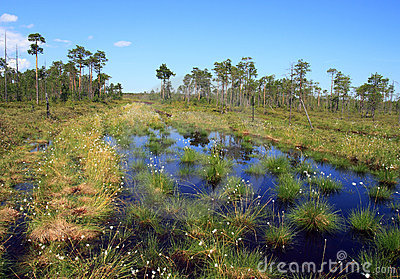 Swamp in the Siberian taiga