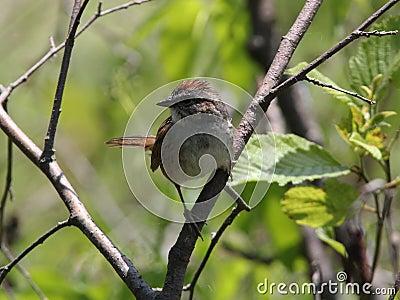 Swamp Sparrow, Melospiza georgina