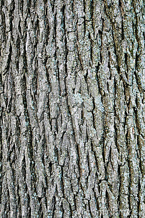 Swamp white oak bark