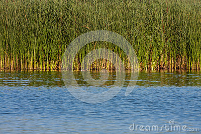 Swamps overgrown with reeds Stock Photo