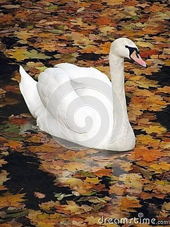 Free Swan Royalty Free Stock Image - 12134356