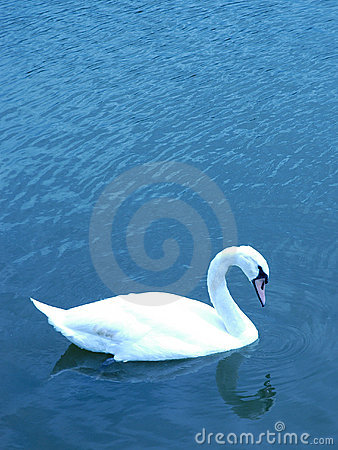Free Swan Royalty Free Stock Images - 189189