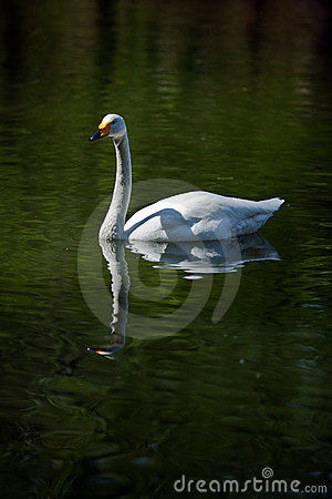 Swan Editorial Stock Image