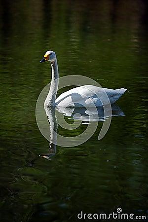 Swan Editorial Stock Image