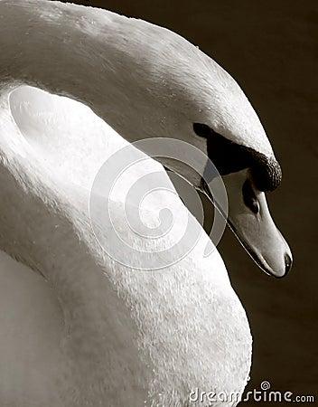 Free Swan Stock Photo - 2570890