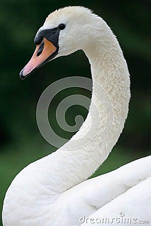 Free Swan  Royalty Free Stock Photos - 4286038