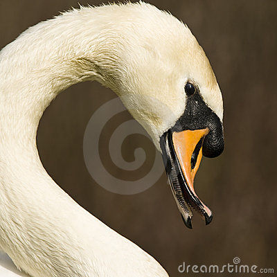 Free Swan Stock Images - 5030204