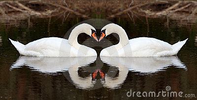 Swan affection