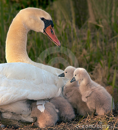 Free Swan And Her Babies Royalty Free Stock Photos - 859858