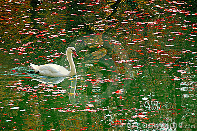 Swan In Autumn Pond