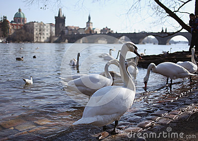 Swan on background of Charles Bridge in Prague