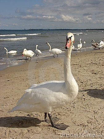 Swan on the beach