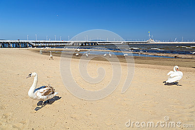 Swan on the beach in Sopot