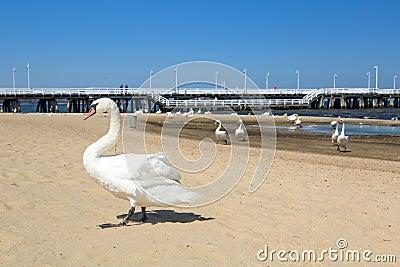 Swan on the beach in Sopot