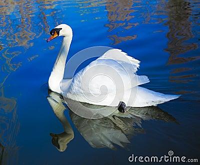 A swan  beijing china